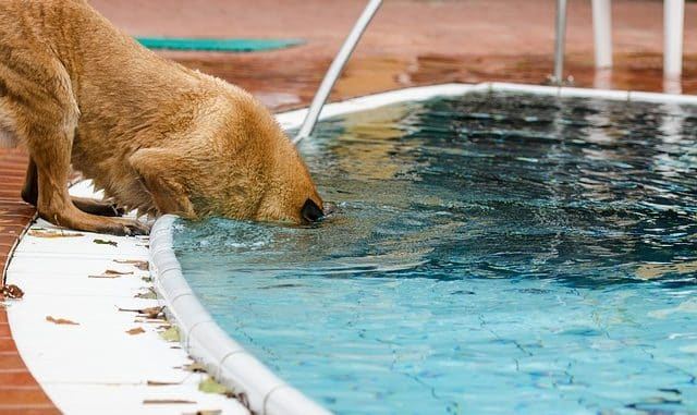 Dog Drinking Chlorinated Pool Water